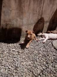 Título do anúncio: Filhote de pitbull APBT