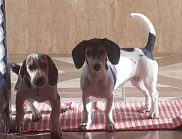 Beagle vendo os dois