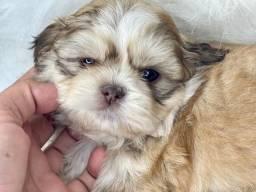 Pequenino baby de Shih Tzu com pedigree disponível para entrega
