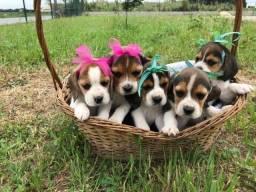 Beagle com pedigree e recibo