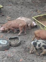 Título do anúncio: Porco