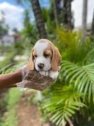 Beagle filhote M/F