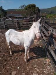 Cavalo piquira Macha batida