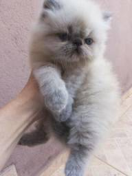 Gato persa himalaia
