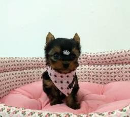Yorkshire Mini Machos e Fêmeas Disponíveis no Puppy Stop