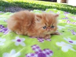 Vendo casal de gatinhos persas