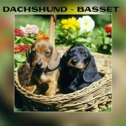 Filhotes de Dachshund - Basset - Cofap no Puppy Stop