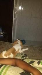 Vendo cachorro da raça BEAGLE(MACHO)