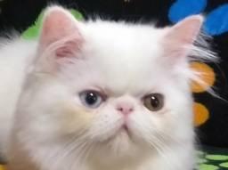Lindo persa branca odd eye