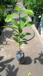 Castanheira plantas