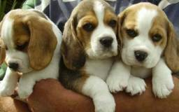 Beagle Miniatura Tricolor Com Pedigree