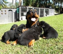 Lindos filhotes de Rottweiler . Linhagem exclusiva, poucos neste padrão no RS