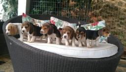 Beagle Inglês machos
