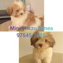 Mini shitzu fêmea, olhos azuis