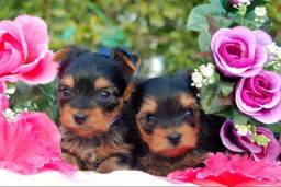 Yorkshire Terrier machos e fêmeas a pronta entrega / com garantia de saúde em contrato