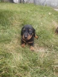 Filhotes de dachshund raça pura