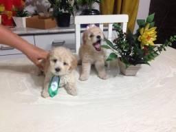 Poodle Toy - Filhotes