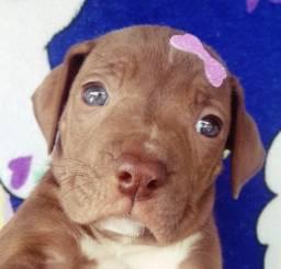 Seu filhote de pitbull red nose com pedigree em até 12 x !