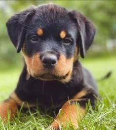Maravilhosos filhotes de Rottweiler