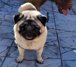 Pug Max procura namorada