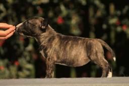 Bull Terrier Inglês pirata/fulvo/tricolor/white