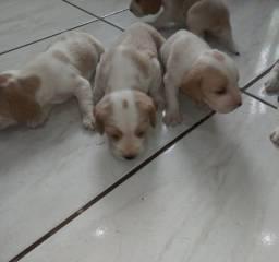 Lindos filhotinhos de Beagles disponiveis com pedigree