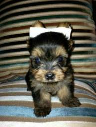 yorkshire micro terrier fêmea fofa