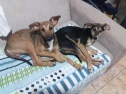 Doa-Se casal de cachorros