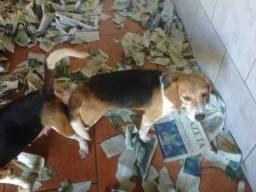Beagle macho reprodutor 5 anos,docil,tricolor,parcelo nos cartoes,ligue