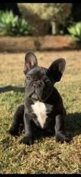 OPORTUNIDADE futuro padreador Bulldog francês