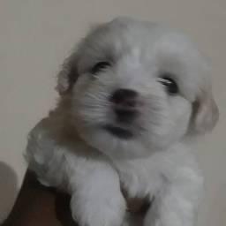 Cachorro da raça maltês