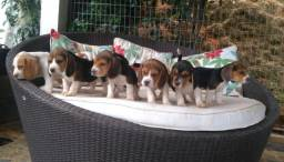 Beagle inglês topp/ @canilcanaa/ MT