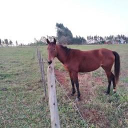 Égua meio sangue