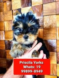 Yorkshire Terrier femeas e machos