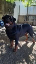 Filhotes de Rottweiler com pedigree CBKC