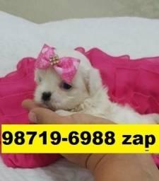 Maravilhosos Filhotes Cães Top BH Maltês Yorkshire Beagle Shihtzu Bulldog Pug Lhasa