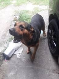 Doação de Rottweiler