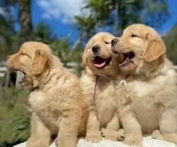 Título do anúncio: Maravilhosos Filhotes de Golden Retriever