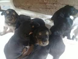 Filhotes de Poodle misturados