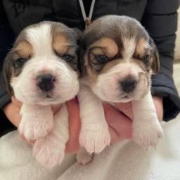 Beagle, macho e fêmea com garantias de vida e saúde