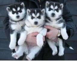 Lindos filhotes de Husky Siberiano já vermifugados !!