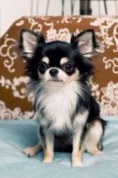 Chihuahua - machos e fêmeas a pronta entrega