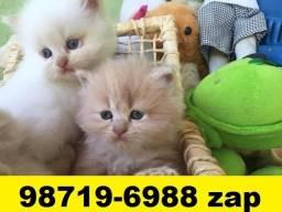 Gatil em BH Belos Filhotes de Gatos Persa Siamês ou Angora