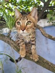 Gato Bengal Macho Ótimo padrão da raça - pedigree