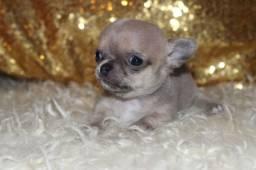 Chihuahua pelagem longa e curta, adquira conosco e tenha garantias