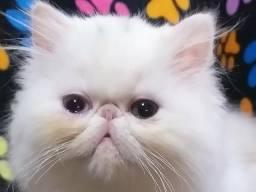 Perfeita persa branca odd eye