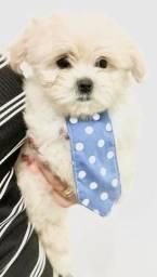 Cachorro Maltês porte pequeno