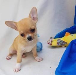 Chihuahua pelo longa/curta em 12x sem juros!! garantias e suporte veterinário!