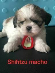 Shihtzu vários filhotes disponíveis