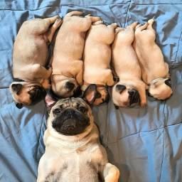 Filhotes de Pug pais com pedigree CBKC